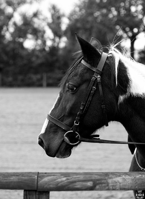 centre-equestre-la-pommeraye-maine-et-loire-cheval